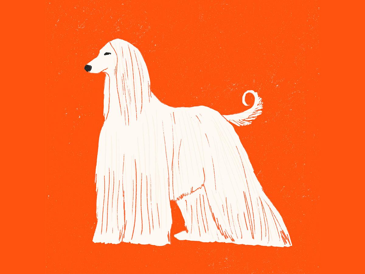 Afghan hound milica golubovic hound dogs red dog illustration illustration dog afghan hound