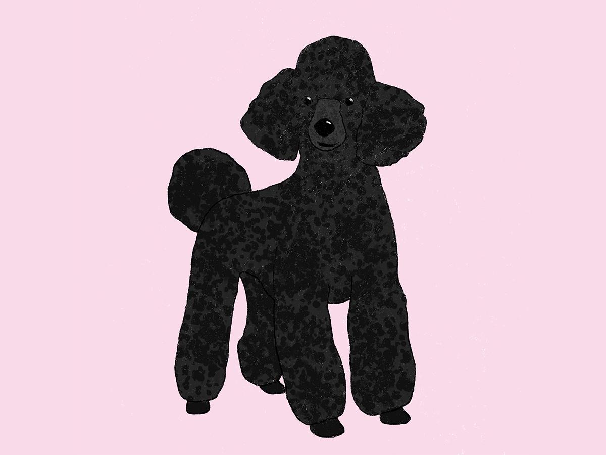 Black Poodle dogs milica golubovic illustrator poodle dog black poodle