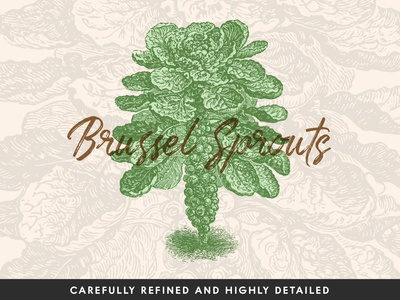 Brussel Sprouts Vector Illustration