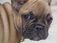 Tiny French Bulldog (IMG_0834)