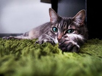 Cat lying on carpet - Photography - Justine Montreuil