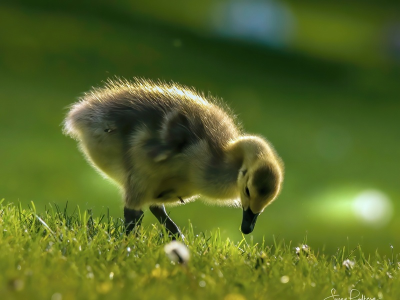 Cute Gosling inspirational youthful wildlife photography branding bird logo bird icon bird design logo branding photography