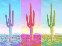 Duotone Saguaros