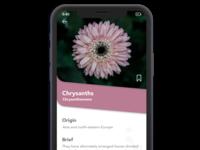 Chrysanthemums Flower App Screen