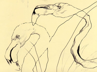 bestiary: greater flamingo bestiary drawing greater flamingo