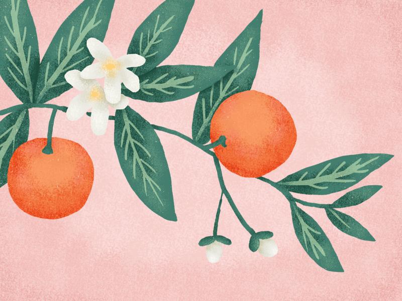 Oranges fruit plant oranges illustration drawing