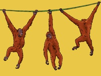 Brachiating Orangutans