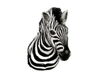 WIP | Zebra