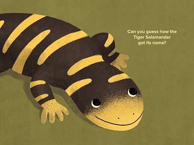 All About Salamanders educational science animals childrens books illustration tiger salamander