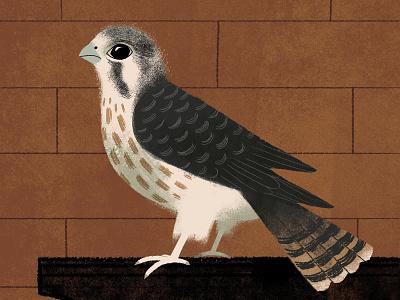 Kestrel kestrel falcons birding birds animals illustration nature