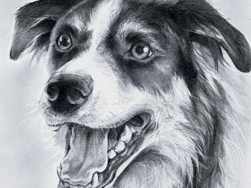 Border Collie portrait black and white graphite photorealistic sketch dog portrait pencil