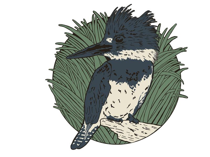 King Fisher drawing illustration art illustration water bird florida state wildlife kingfisher birds florida