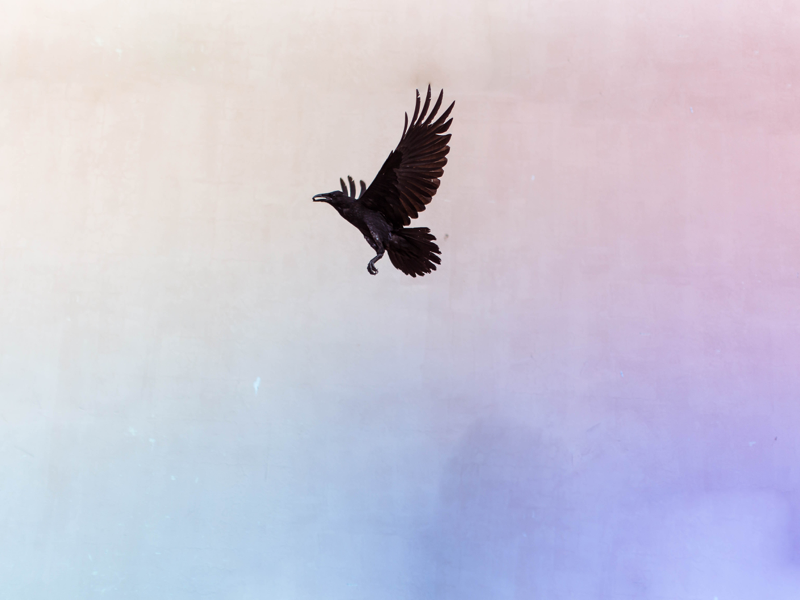 Wallpaper photo wallpaper raven