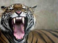 Tiger roar 1378402i