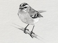 Bird illustration for book cover