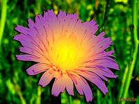 Lighted Dandelion