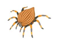 Nutty Tarantula