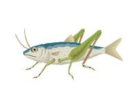 Sardine Grasshopper