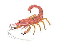 Scorpion Shrimp