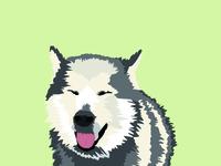 Mizu The Husky Malamute