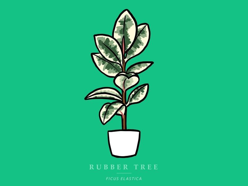 Variegated Rubber Tree procreate ipadpro design illustration