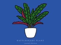 Rattlesnake Plant