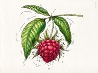 Raspberries (VEGGO project)