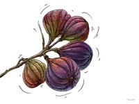 Figs_Illustration for Veggo brand