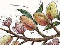 Almond_illustration for Veggo brand