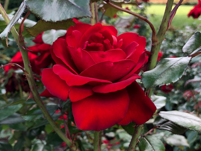 a rose 🌹 flowers unedited photo botanical gardens shot on iphone photography rose flower