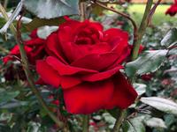 a rose 🌹