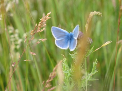 Lycaenidae  Silver Studded Blue Male 5