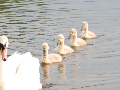 Swan and cygnets in a line