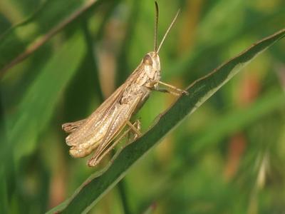 Grasshopper / cricket