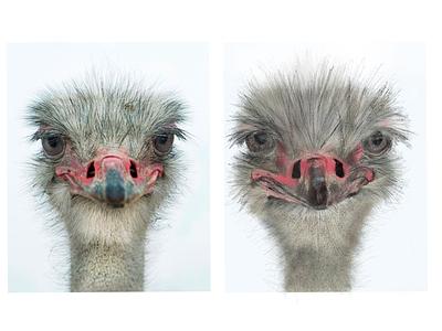 Ostrich procreate ostrich