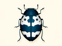 Barytopus beetle