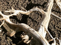 """""""Heart Root"""" as found in nature..."""