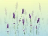 Lavender Speedpaint