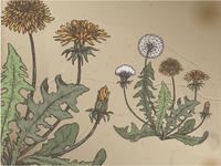 Dandelion color sketch