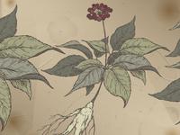 Ginseng sketch
