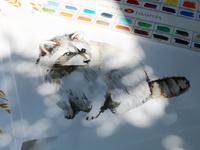 Raccoon. Watercolor illustration.