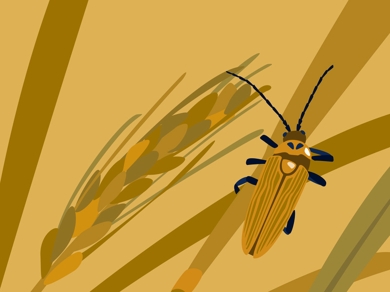 Cantharis Decipiens wallpaper nature illustration adobe illustrator yellow bugs drawing illustration