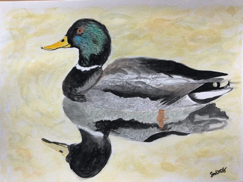 Mallard reflection mallard painting watercolor