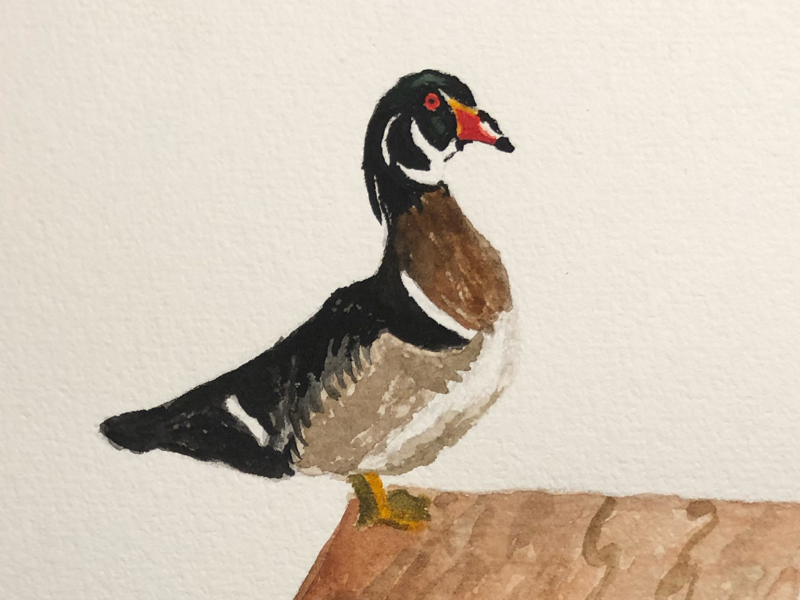 Wood Duck By Steph Woods On Dribbble