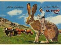 Jackalopes potpourri jackalope postcards jackalope riding jack rabbit 52jackrabbitcattlepunchelpasop