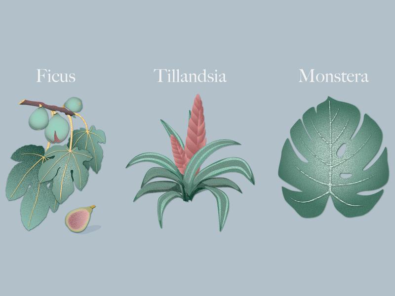 Plants monstera tillandsia ficus plants print illustration