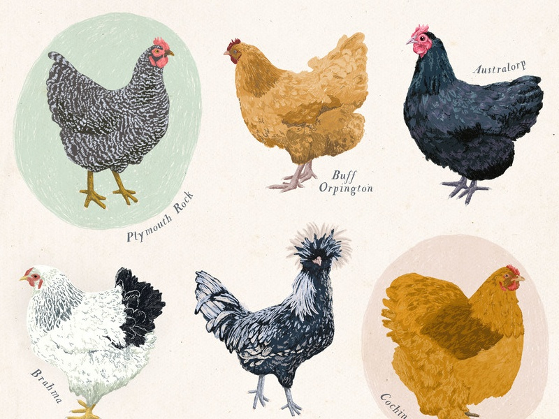 Chickens Illustration drawing animals wall art poster colored pencil pencil illustration bird farm chickens
