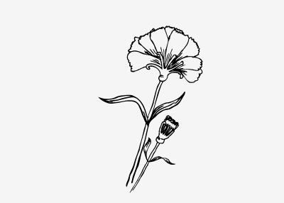 Carnations flowers carnation drawing illustration line ink leaf hand drawn flower