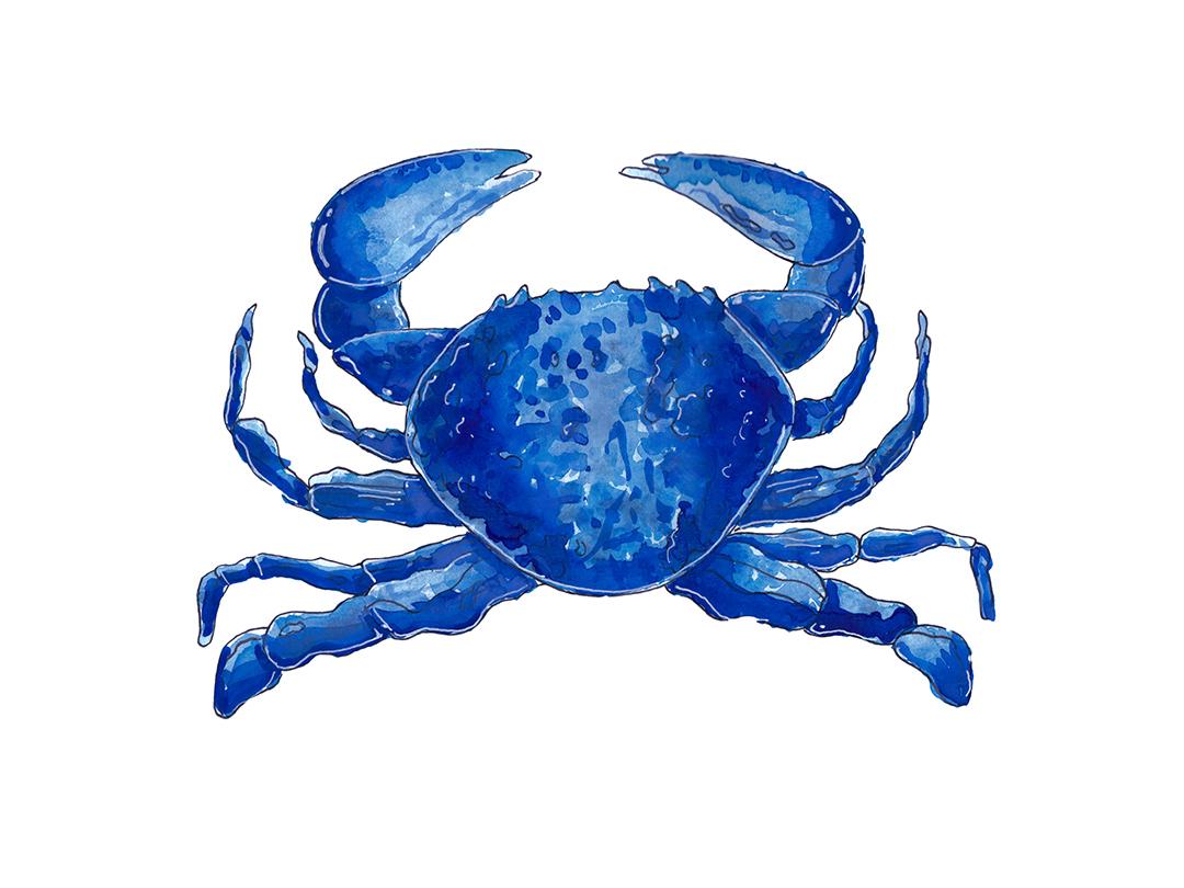 Crab ocean sea scientific illustration scientific simple watercolor blue sealife wildlife illustration