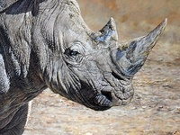 White Rhino by Alan M Hunt